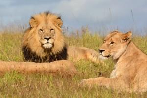 Kariega lion pride